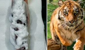 Se hace un tatuaje con diseño de tigre y el resultado impresiona a todos [VIDEO]